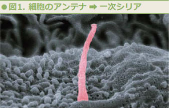 図1.細胞のアンテナ→一次シリア