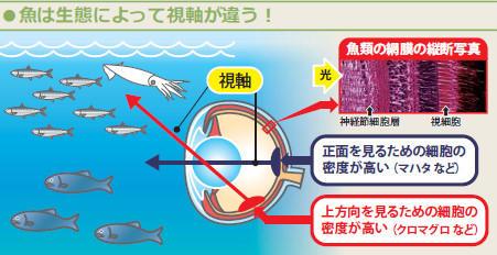 図:魚は生態によって視軸が違う