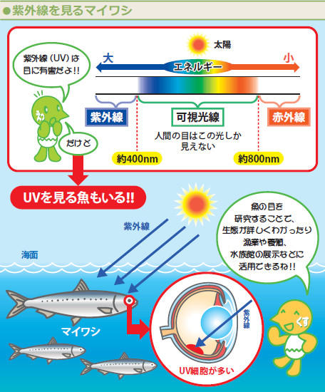 図:紫外線を見るマイワシ