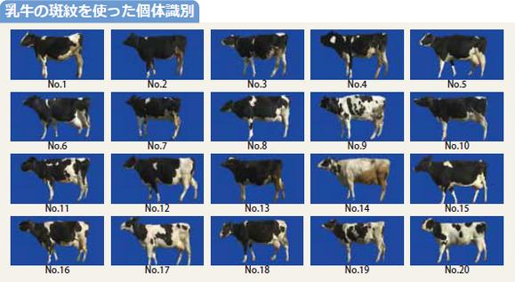 図:乳牛の斑紋を使った個体識別